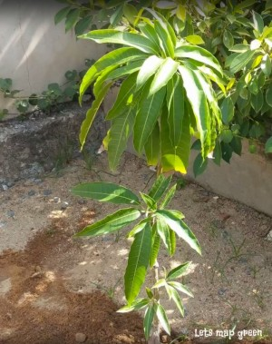 Maho tree